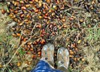Pohon kelapa sawit – Kecamatan Jasinga Bogor