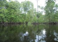 Deforestasi Mangroves Mengancam