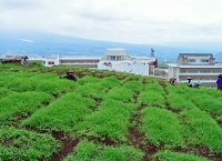 Ladang Wortel di Belakang Hotel