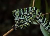 Tropidolaemus laticinctus