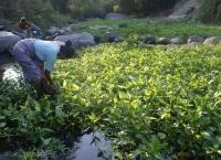 Warga Manfaatkan Sungai Tanami Kangkung