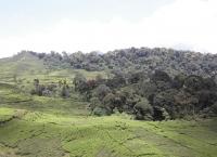 ekspansi-perkebunan-teh-di-hulu-sungai-ciliwung-hutannya-terus-berkurang-siapa-yang-bertanggung-jawab-kalo-sudah-terjadi-bencana