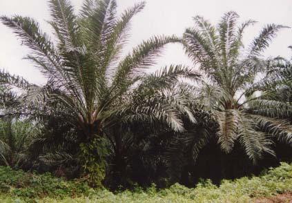 Perkebunan Sawit di Kebun Arso, Papua