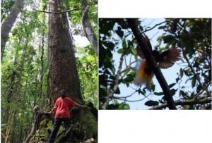 Hutan di Pulau Koba, Kepulauan Aru yang didominasi pohon-pohon berdiameter besar dan beragam jenis burung eksotis, seperti cendrawasih besar (Paradisaea apoda)