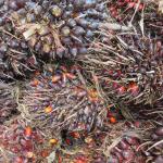 Ekspansi Kelapa Sawit di Pulau Kalimantan