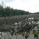 Konsolidasi CSO dalam Upaya Penyelamatan Ekosistem Mangrove di Indonesia