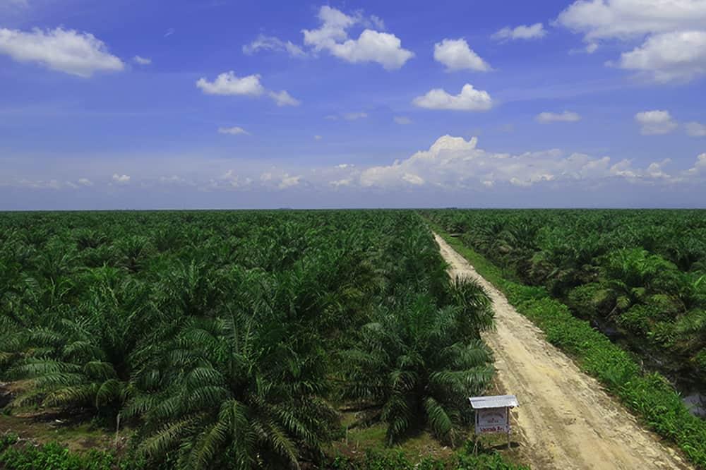 ISPO_Hamparan Kebun Sawit Riau
